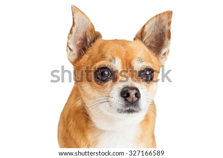 Adorable Chihuahua Mixed Breed Dog Large Stock Photo Edit Now