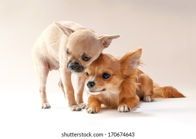 adorable chihuahua puppies  cuddling each other on neutral background