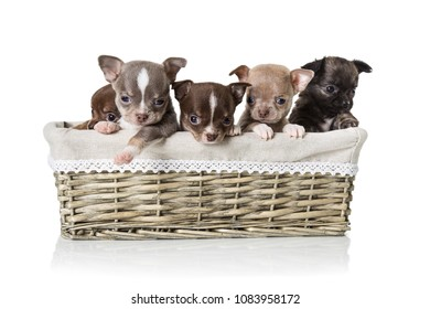 Adorable chihuahua puppies sitting in a box. Studio shot. Isolated on white background.