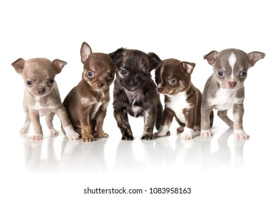 Adorable chihuahua puppies. Studio shot. Isolated on white background.