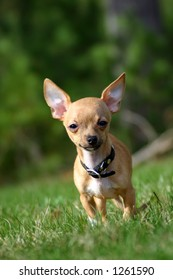 Adorable chihuahua puppy dog, ears standing up and blurred background