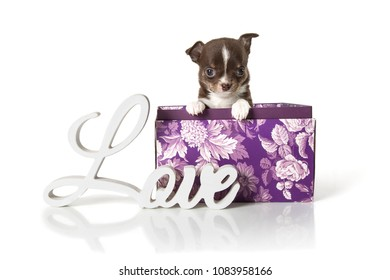 Adorable chihuahua puppy sitting in a box. Studio shot. Isolated on white background.