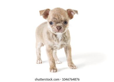 Adorable chihuahua puppy. Studio shot. Isolated on white background.