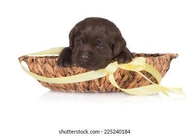 adorable chocolate puppy in a basket