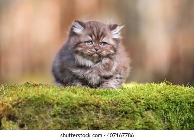 adorable chocolate smoke british longhair kitten outdoors