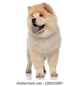 adorable chow chow pants and looks to side while standing on white background