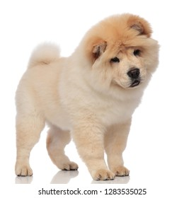 adorable chow chow stands on white background and looks down to side