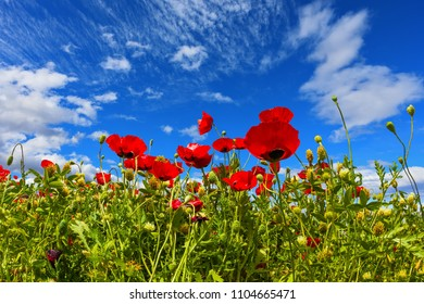 Adorable cirrus clouds in the blue sky. Spring in Israel. Concept of ecological and rural tourism. Field of blooming anemones of the family of buttercups