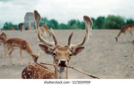 Adorable close up of a fallow deer holding a branch in it's mouth with other deer grazing in the background.