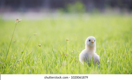 Adorable and close up yellow chick or little chicken  on grass field or grassland on natural background for concept design