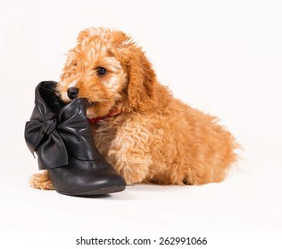 Adorable Cockerpoo puppy. It is a mixed dog breed between Cocker Spaniel and Poodle. The little pet is eight weeks of age. The puppy is lying beside a black shoe.
