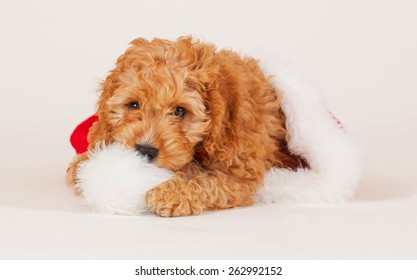 Adorable Cockerpoo puppy. It is a mixed dog breed between Cocker Spaniel and Poodle. The little pet is eight weeks of age. The little puppy is sitting is a Christmas cap.