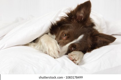 Adorable Collie border breed dog lying in bed covering her face with a paw