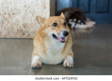 Adorable corgi