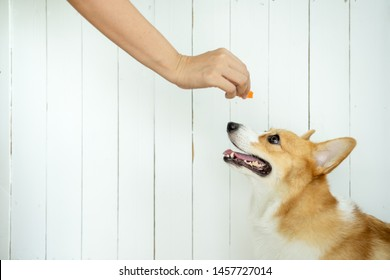 The adorable corgi dog is waiting for food training  . The dog sitting looking at food from the owner's hand. School for training dogs to sit and wait. The corgi dog that is training to wait for food