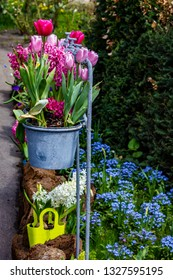 Adorable Cottage Garden with Pots Hanging on Spigots Filled with Hyacinths and Tulips with a Bed of Blue Daisies behind outside of Amsterdam, Netherlands