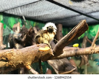 Adorable cotton-top tamarin scientifically named Saguinus Oedipus perched on a big branch looking around in the Biblical Zoo in Jerusalem Israel