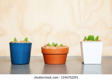 Adorable Cotyledon tomentosa succulent plant