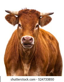Adorable Cow Portrait on White Background. Farm Animal Grown for Organic Meat