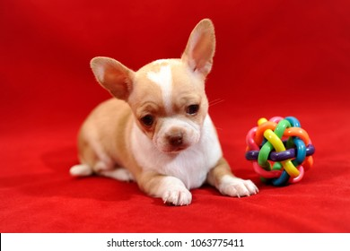 Adorable cream with white patches short-hair Chihuahua puppy with colorful chew ball on red background.
