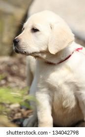 Adorable creme labrador retriever puppy in summer