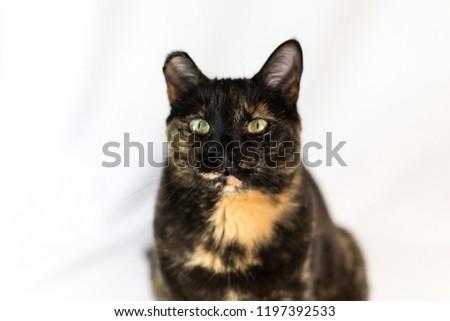 57405940b5e Adorable Curious Calico Tortoiseshell Cat Stock Photo (Edit Now ...