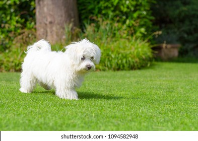 An adorable, curious puppy seems curious and inquisitive while playing on green grass in a vibrant, summer backyard setting.