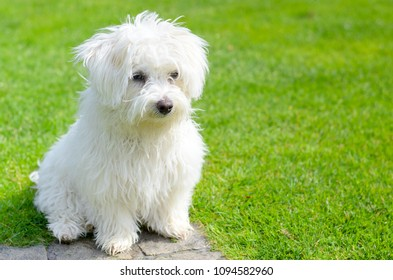 An adorable, curious puppy seems curious and inquisitive while sitting on green grass in a vibrant, summer backyard setting.