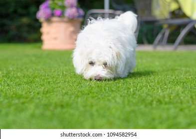 An adorable, curious puppy sniffing on green grass in a vibrant, summer backyard setting.