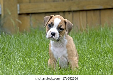 Adorable, curious tan and white boxer puppy with head cocked in green grass