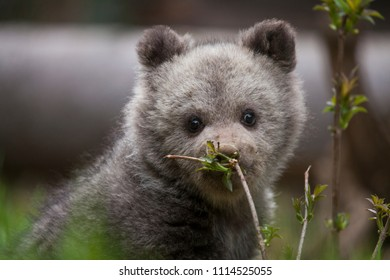 adorable cute baby bear cub smelling a plant with dirty nose