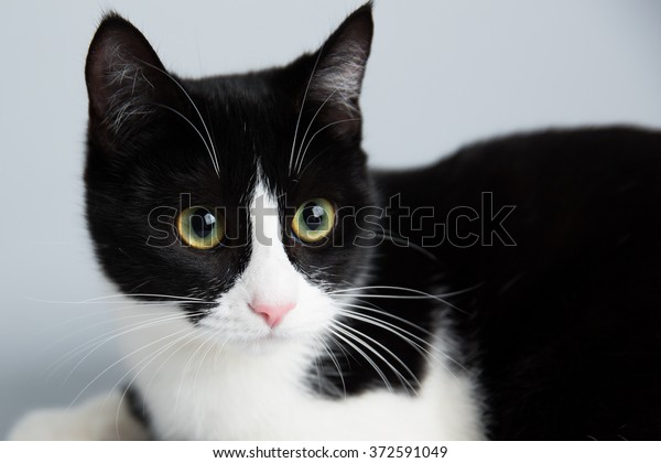 Adorable Cute Black White Cat Animals Wildlife Stock Image 372591049