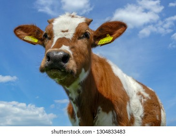 Adorable cute calf, close up, low angle, red pied calf is like a cuddly animal, at a blue cloudy sky.