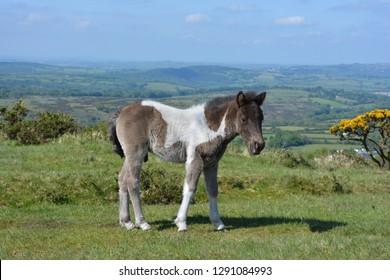 Adorable, cute,  Dartmoor pony, Dartmoor National Park, near Tavistock, Devon, England