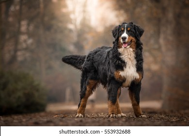 Adorable Cute Female Of Bernese Mountain Dog Standing In The Park