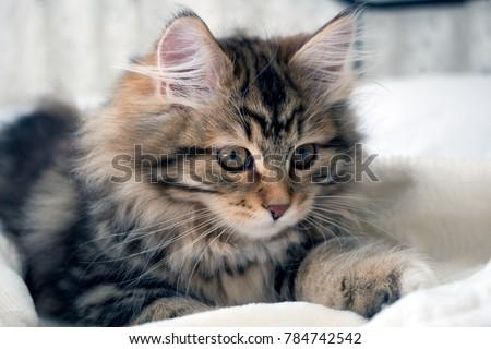 adorable cute fluffy purebred siberian kitten stock photo edit now