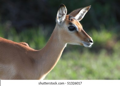 Adorable cute impala antelope lamb with large round eye