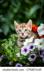 An adorable cute kitten among summer flowers. Purebred Bengal kitten with petunia. The little cat is 7 weeks old and is playing hide and seek outdoors in the garden.