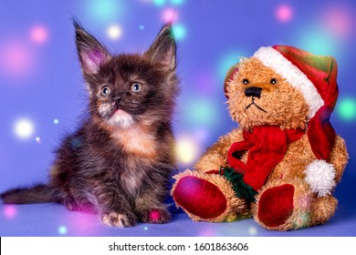 Adorable cute maine coon kitten and a toy bear wiht a Santa Claus hat on in blue background in studio.