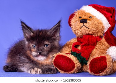 Adorable cute maine coon kitten and a toy bear wiht a Santa Claus hat on in blue background in studio, isolated.