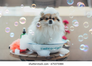 Adorable Cute Pomeranian Young Puppy Taking a Bath Covered in Soapy Bubbles