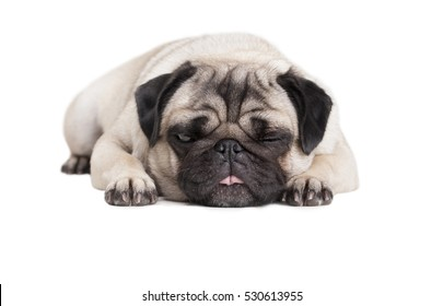 adorable cute pug puppy dog lying down flat with face on floor and tongue out, isolated on white background