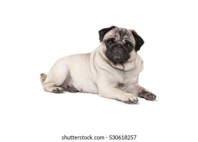 adorable cute pug puppy dog lies down on floor, seen sideways, isolated on white background