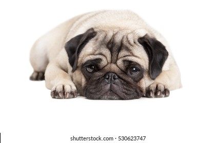 adorable cute pug puppy dog lying down flat, isolated on white background