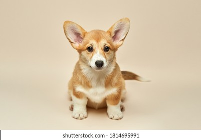 Adorable cute puppy Welsh Corgi Pembroke sitting on light background