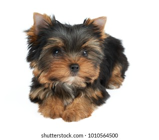 Adorable and cute puppy of the Yorkshire Terrier isolated on white