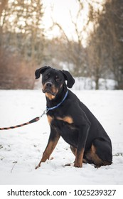 Adorable cute rottweiler just found a new home