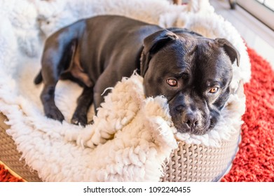 Adorable, cute Staffordshire Bull Terrier dog curled up in his bed. it has white soft bedding and is a plastic basket
