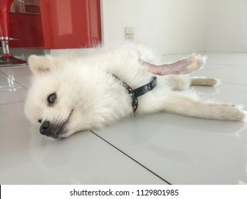 Adorable and cute white spitz dog with a nasty gash in his upper leg, injured little dog with sad eyes and shaved leg