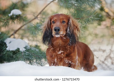 adorable dachshund dog posing outdoors in winter